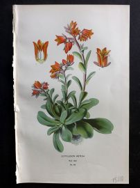 Edward Step 1897 Botanical Print. Cotyledon Retusa